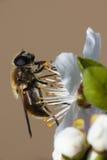Wesp die stuifmeel van bloesem verzamelt Stock Afbeelding