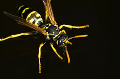 Wesp die zich op het water bevinden Stock Fotografie