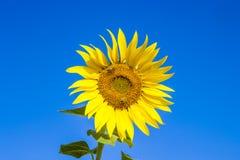 Wesp en fleur du soleil de bloomin Image stock