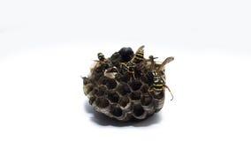Wesp geïsoleerde bijenkorf op witte achtergrond Stock Foto's
