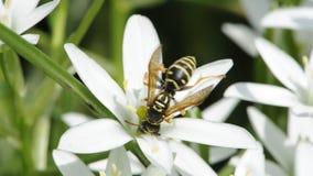 Wesp het Drinken Nectar van Gras Lily Flower stock footage