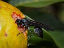 Wesp in het guavefruit Stock Afbeeldingen