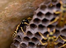 Wesp op een Bijenkorf Stock Afbeelding