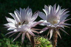 Wesp op een bloemcactus Stock Afbeeldingen