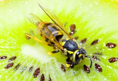 Wesp op een Kiwifruit Stock Fotografie