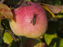 Wesp op een rijpe appel Stock Afbeeldingen