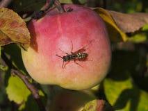 Wesp op een rijpe appel Stock Fotografie