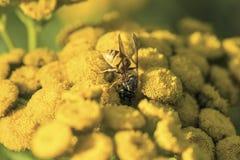 Wesp op een wilde gele bloem royalty-vrije stock afbeelding