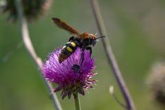 Wesp (Scolia-maculata) Stock Foto