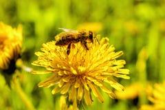 Wespclose-up op een bloem Royalty-vrije Stock Afbeelding