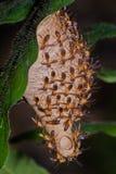 Wespe - Angiopolybia stockfotos