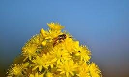 Wespe auf Aeoniumblumen Stockfotografie