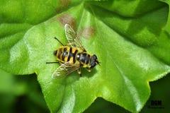 Wespe auf Blatt stockbilder