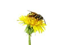 Wespe auf Blume Lizenzfreies Stockbild