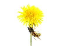 Wespe auf Blume Lizenzfreie Stockfotos