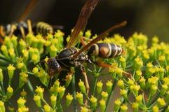 Wespe auf Blume Lizenzfreie Stockfotografie