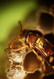 Wespe auf dem Nest stockfotografie