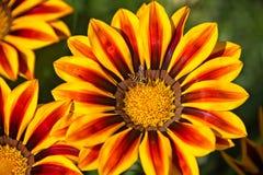 Wespe auf den gelben und orange Blumen Stockbild