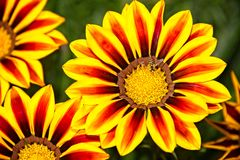 Wespe auf den gelben und orange Blumen Stockbilder