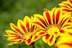 Wespe auf den gelben und orange Blumen Lizenzfreie Stockfotos