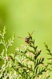 Wespe auf den Niederlassungen des Baum Thuja Stockbild