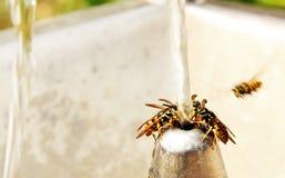 Wespe auf der Bewässerung. stockbild
