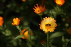 Wespe auf der Blüte lizenzfreie stockfotografie