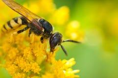 Wespe auf der Blume Stockbilder