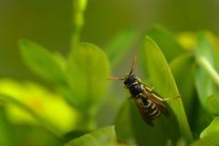 Wespe auf einem Blatt Stockfotografie