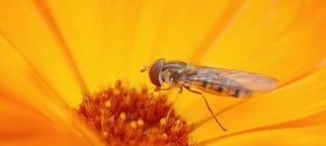 Wespe auf einer Blume Lizenzfreie Stockfotos