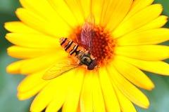 Wespe auf einer Blume Stockbild