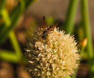 Wespe auf einer Blume Lizenzfreies Stockfoto