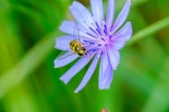 Wespe auf einer Blume Stockfotos