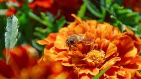 Wespe auf einer Blume erntemaschine Stockfoto