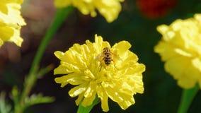 Wespe auf einer Blume erntemaschine Estland Lizenzfreie Stockfotos