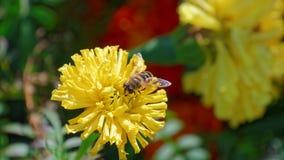 Wespe auf einer Blume erntemaschine Estland Lizenzfreie Stockfotografie