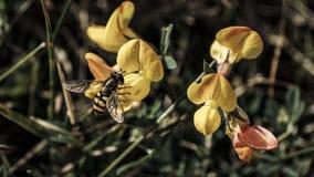 Wespe auf einer Blume lizenzfreies stockbild