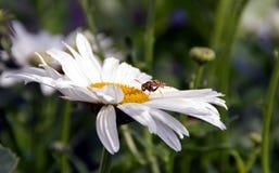 Wespe auf Gänseblümchen im Sommer lizenzfreie stockfotos