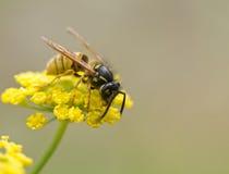 Wespe auf gelber Blume Stockbild