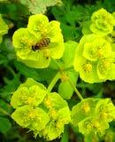 Wespe auf gelbgrüner Blume Lizenzfreies Stockbild