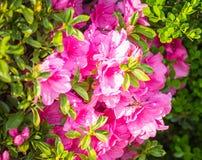 Wespe auf Hecke getrimmten rosa Azaleen in voller Blüte stockbilder