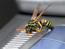 Wespe auf Laptop Stockfotos