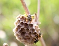 Wespe auf Nest Lizenzfreie Stockfotografie