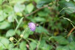 Wespe auf purpurroter Blume Stockbilder
