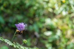 Wespe auf purpurroter Blume Lizenzfreies Stockbild
