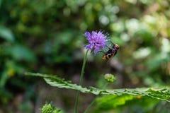 Wespe auf purpurroter Blume Stockfoto