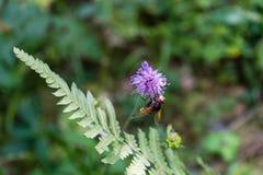 Wespe auf purpurroter Blume Stockbild