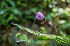 Wespe auf purpurroter Blume Lizenzfreie Stockfotografie