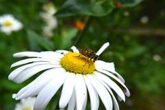Wespe auf riesigem Gänseblümchen Lizenzfreie Stockfotografie
