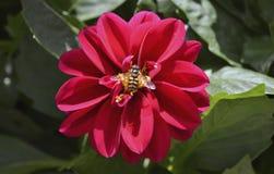 Wespe auf roter Dahlienblume Lizenzfreies Stockfoto